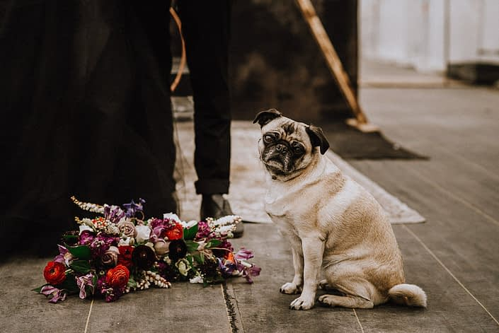 pug in a bridal party with bouquet of burgundy dahlias and red ranunculus and amnesia roses and pieris and clematis and mixed greenery