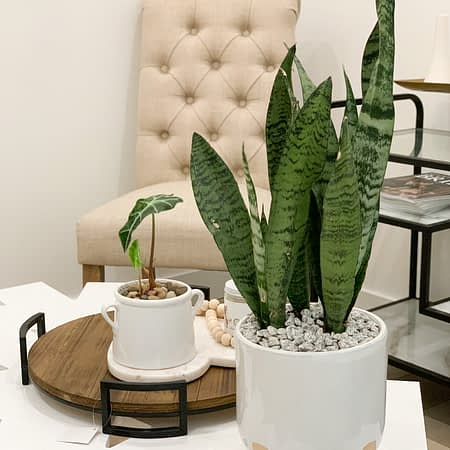 snake plant in footed ceramic