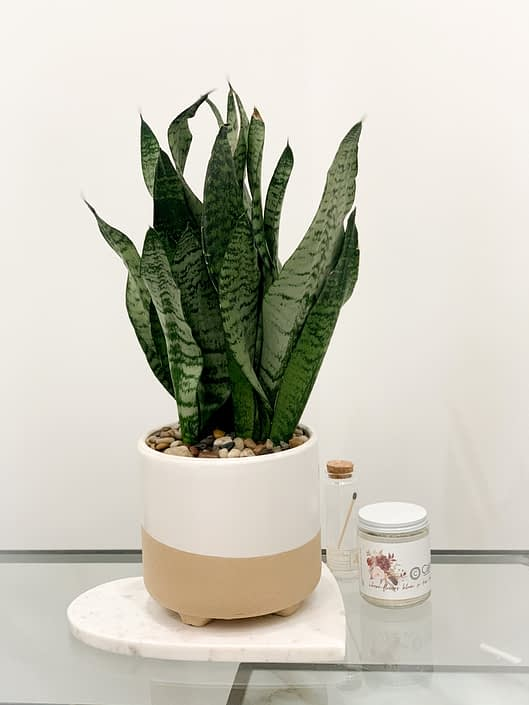 beige footed ceramic with snake plant