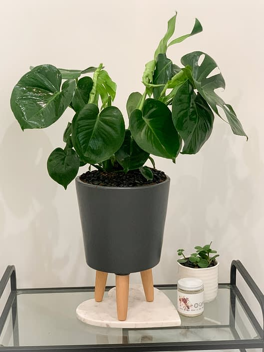 monstera in grey with legs