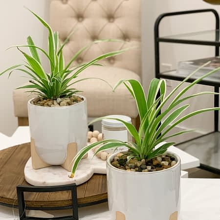 spider plant in ivory footed ceramic