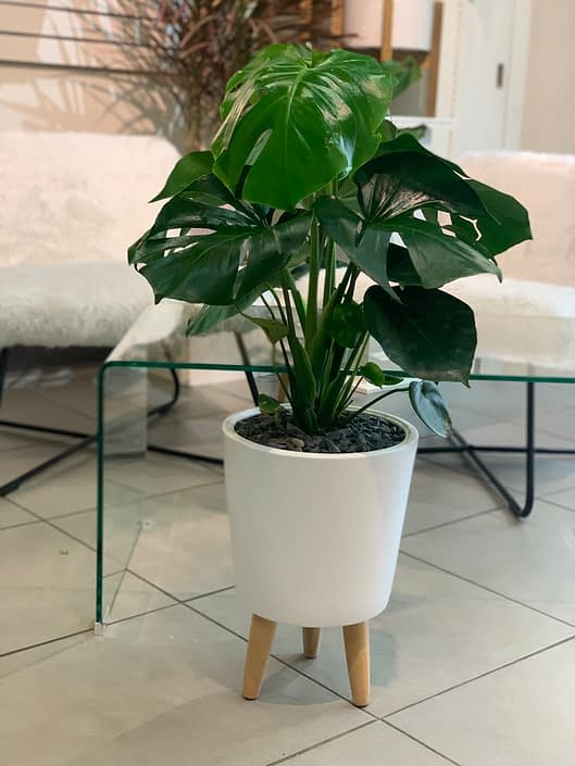 Philodendron monstera in white ceramic pot with wooden legs