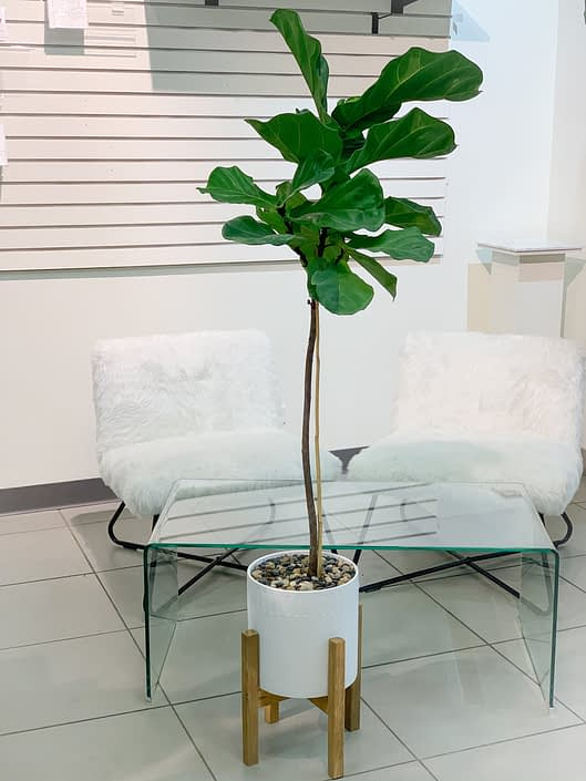 fiddle leaf fig in white ceramic ot with legs