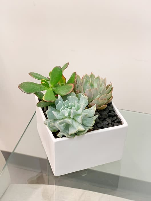 """3 succulents in 6"""" white cube"""