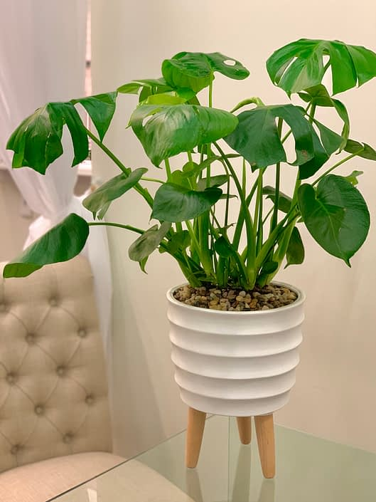 monstera plant in white ceramic with legs