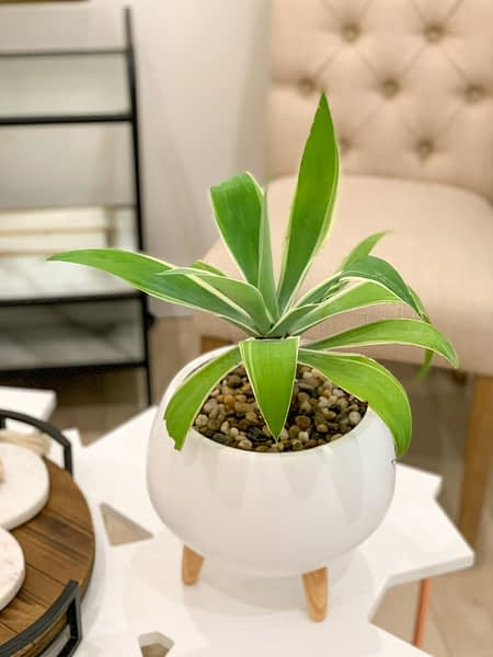 Agave in white ceramic with legs